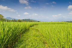 Paddy Rice Fields stock foto's