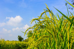 Paddy Rice Fields Immagine Stock