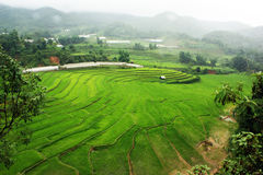 Paddy Rice Fields Fotografia de Stock