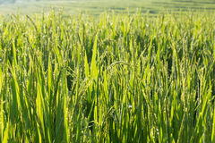 Paddy rice fields of agriculture cultivation Royalty Free Stock Images