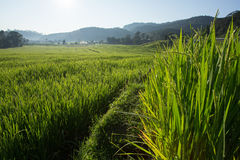 Paddy rice fields of agriculture plantation Stock Photos