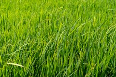Paddy rice fields. Green Paddy rice fields background stock photography