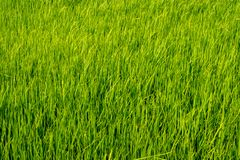 Paddy rice fields. Green Paddy rice fields background stock images