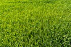 Paddy rice fields. Green Paddy rice fields background royalty free stock photography