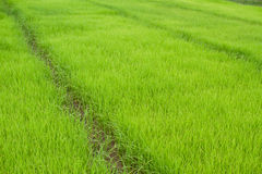 Paddy Rice Fields Royalty Free Stock Photos