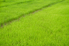 Paddy Rice Fields Royalty Free Stock Image
