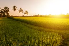 Paddy rice fields stock photography