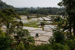 Paddy rice fields in Indonesia on the island of Sumatra. royalty free stock photos