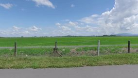 Paddy Rice Fields of Kedah state, Malaysia, in the month of November, 2015. A shot of the vast paddy fields in Kedah, a northern state in Peninsula Malaysia stock video footage
