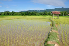Paddy rice in fields in the morning. Royalty Free Stock Image