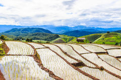 Paddy - rice fields at pa pong peang  chiang mai asia Thailand Stock Image