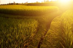 Paddy rice fields royalty free stock photography