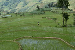 Paddy rice fields in Yunnan Royalty Free Stock Photos