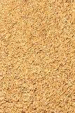 Paddy Rice Grain. Immagini Stock