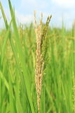 Paddy Rice Grain. Foto de Stock Royalty Free