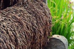 Paddy or rice grain (Thai riceberry) Stock Photography