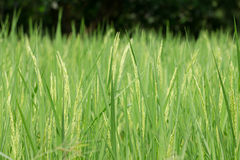 Paddy rice. In green field Royalty Free Stock Photography