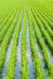 Paddy rice, Green field Stock Photography