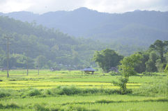 Paddy rice green field with hill surrounded Stock Images