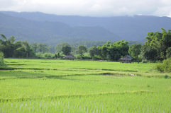 Paddy rice green field with hill surrounded Stock Photos