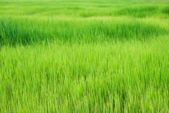 Paddy Rice. Green paddy Rice filed background in thailand stock images