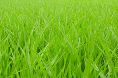 Paddy rice - green Rice field Stock Photo
