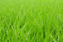 Paddy rice - green Rice field Stock Photo
