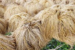 Paddy Rice Harvest Lizenzfreies Stockfoto