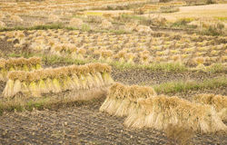 paddy rice harvest Stock Photo