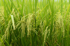 Paddy rice harvest Royalty Free Stock Photos