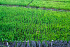 Paddy. Rice paddy harvest field green background plant nature agriculture asia farm crop thailand food white natural landscape grass organic asian rural Stock Photo