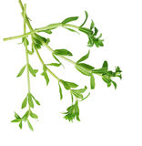Paddy rice herb Royalty Free Stock Image