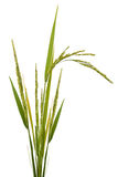 Paddy rice isolated Royalty Free Stock Images