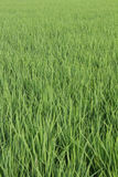 Paddy rice leaf green background. Royalty Free Stock Photos