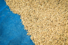 Paddy rice Royalty Free Stock Photos