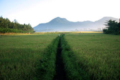 paddy rice maturing Royalty Free Stock Photo