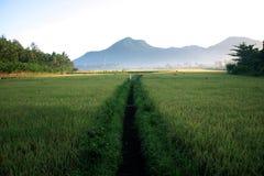 paddy rice maturing Royalty Free Stock Photo
