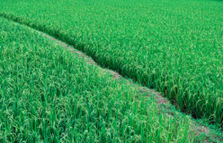 Paddy rice meadow Royalty Free Stock Image