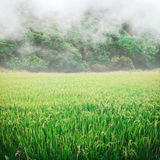 Paddy rice and mist. Royalty Free Stock Image