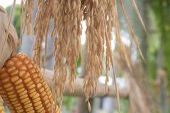 Paddy Rice oreilles de texture de riz non-décortiqué photographie stock libre de droits