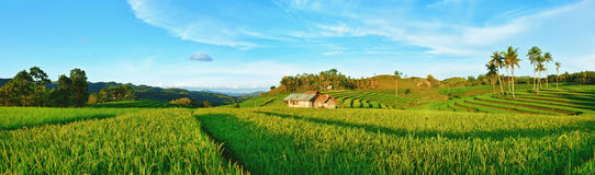 Paddy rice panorama. Panorama of the paddy rice field. Philippines Royalty Free Stock Photo