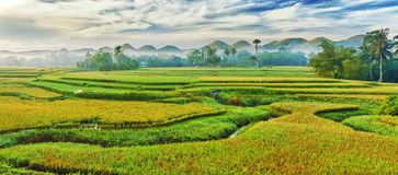 Paddy rice panorama Royalty Free Stock Photography
