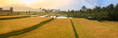 Paddy rice panorama Royalty Free Stock Photos