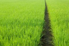 Paddy rice, Path in Green field Stock Photos