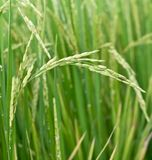 Paddy rice plant Stock Photo