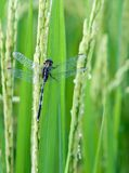 Paddy rice plant Royalty Free Stock Photography