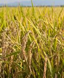 Paddy rice plant Royalty Free Stock Photo