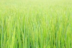 Free Paddy Rice Plant Field. Stock Image - 52130991