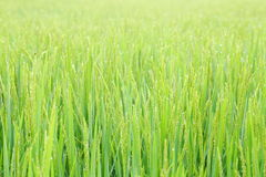 Paddy rice plant field. Stock Image