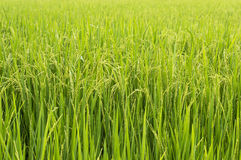 Paddy rice in rice field Royalty Free Stock Photography